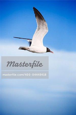 Black-headed gull in flight.