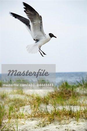 Seagull landing on beach.