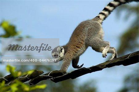 Lemur catta climbing against a blue sky.