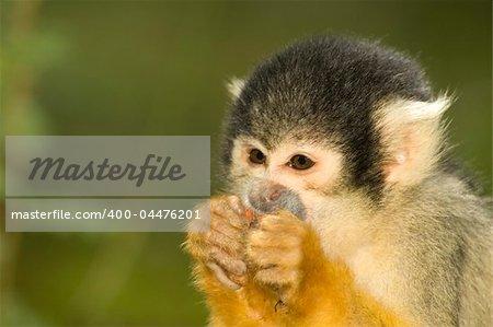Little squirrel monkey eating something.