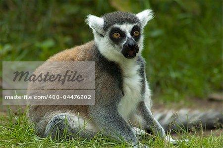Lemur catta looking shocked, as if he has seen something terrible.
