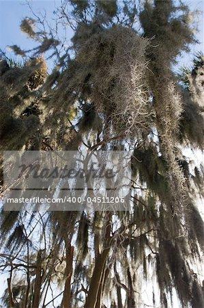 Closeup of spanish moss on a tree in Savannah, Georgia.