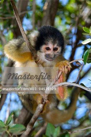 cute squirrel monkey (saimiri) on a tree