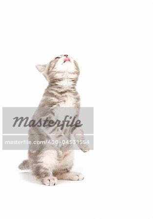 Gray marmoreal scottish breed kitten on white ground