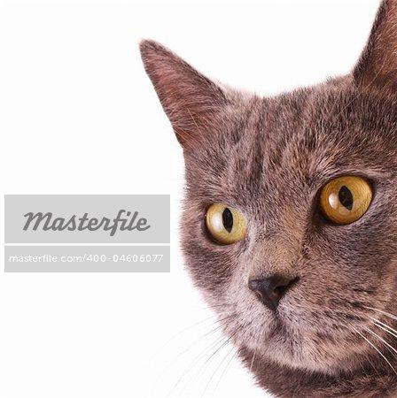 Cat portrait isolated