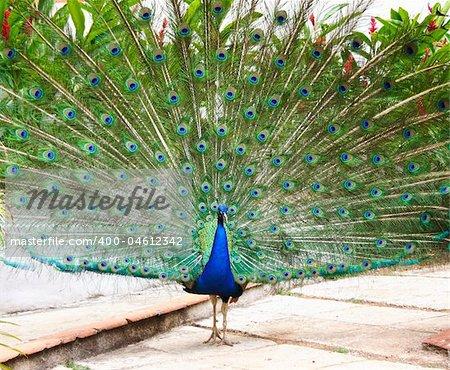 Peacock from Havana, Cuba