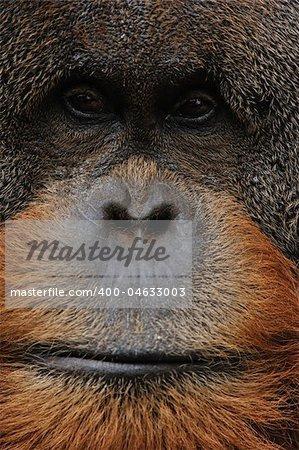close up photo of old male orangutan