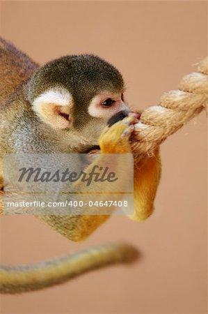 Squirrel monkey - Titi