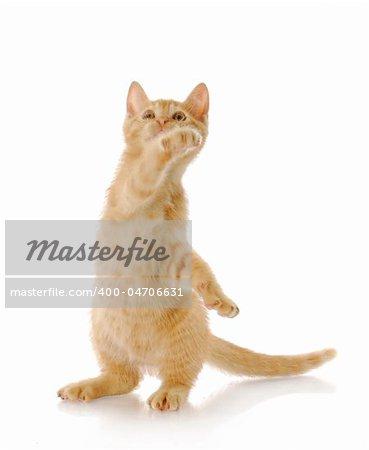 nine week old kitten standing on back legs swatting in the air