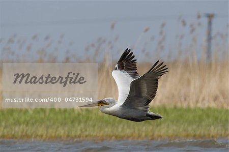 Great White Pelicans (Pelecanus onocrotalus) In The Danube Delta Wildlife Reserve