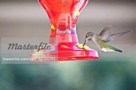 Anna's Hummingbird (Calypte anna) is a medium-sized hummingbird native to the west coast of North America.