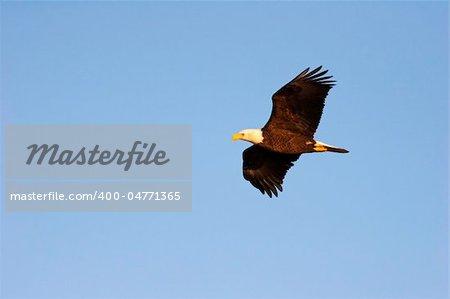 Wild Adult Bald Eagle in Flight in Wisconsin