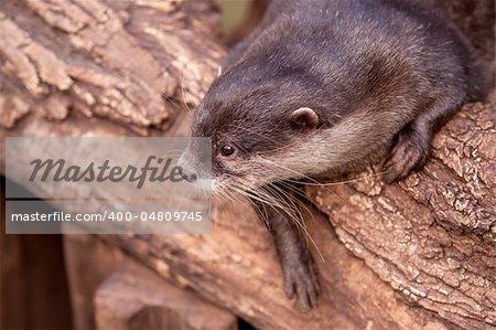 Oriental Small clawed Otter, Aonyx cinerea