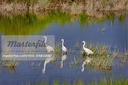 Three Snowy Egrets (Egretta thula) wading in water