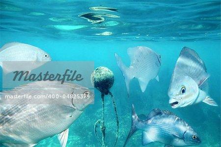 lowfin chub fishes underwater buoy in Mayan Riviera Kyphosus vaigiensis