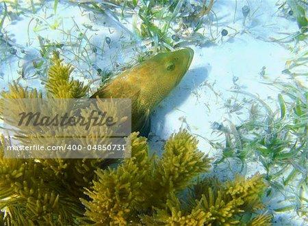 Caribbean grouper fish in sand bottom hided