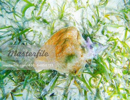 Seashell alive in Caribbean sea over white sand bottom