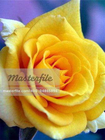 macro image beautiful close up white yellow rose