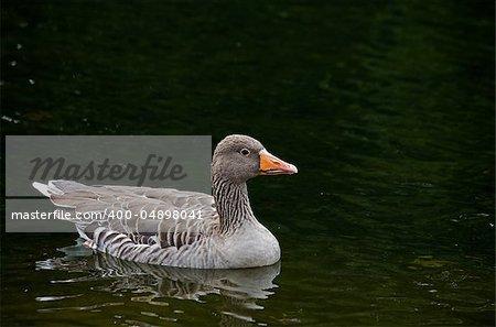 Greylag Goose on lake