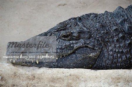 Portrait of a nile crocodile, Crocodylus niloticus, laying on stone