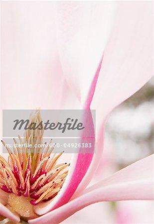 Gros plan de fleurs de Magnolia