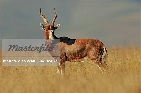 A blesbok antelope (Damaliscus pygargus), early morning, South Africa
