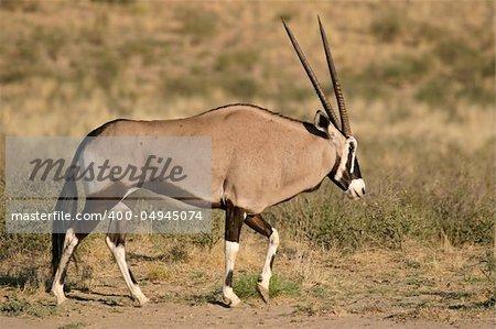 A gemsbok antelope (Oryx gazella), Kalahari, South Africa