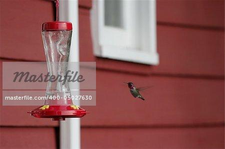 An Anna's hummingbird hovering at a feeder