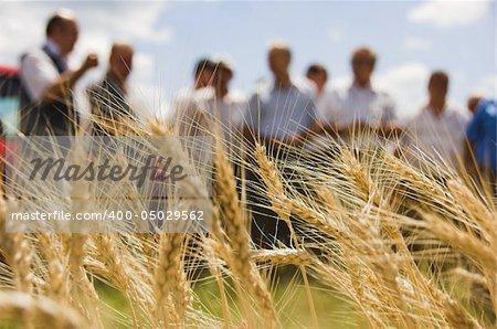wheat ears before harvest