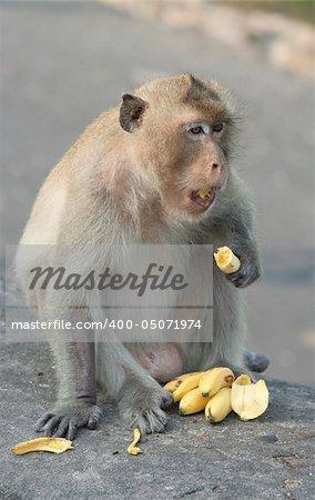 A mamaka monkey eating bananas