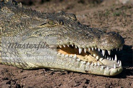 Crocodile basking on the banks of the Chobe River, Botswana