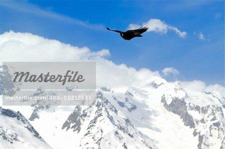 Alpine Chough (Pyrrhocorax graculus) flying against mountains