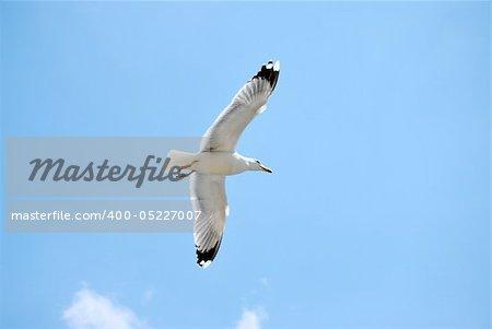 Mouette d'oiseaux de mer. gros plan nature