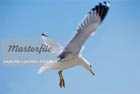 sea bird seagull. nature closeup