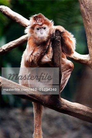 Cute Indonesian endangered Ebony Langur monkey ape sitting on tree branch.