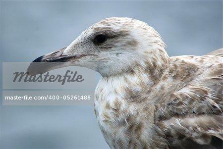 Seagull's side profile close up
