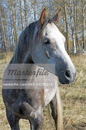 Gray horses head