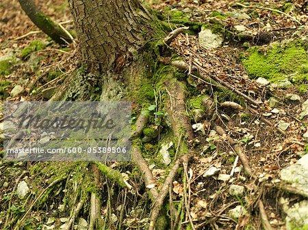 Racines d'arbres sur le parterre forestier