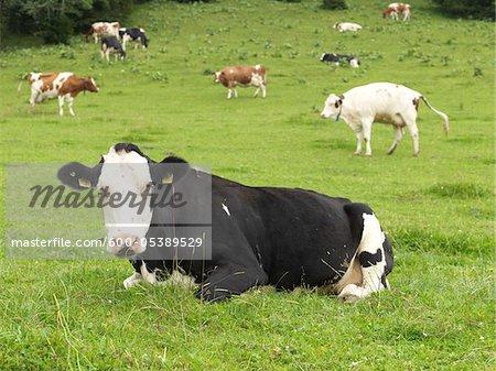 Vaches dans le champ