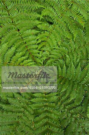 Detail der jungen Ponga Farnbaum, Neuseeland