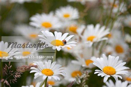 Marguerites en fleurs