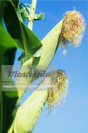 Mais auf Feld gegen blauen Himmel, Nahaufnahme, low Angle view