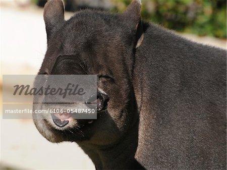 Bairds Tapir, Tapirus bairdii, showing range of prehensile nose.