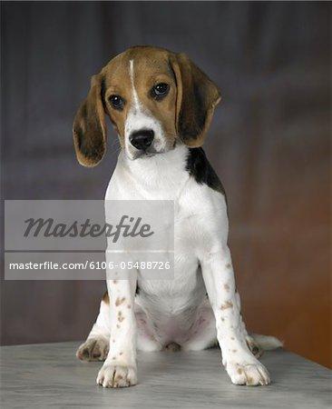 Portrait de chiot-chien