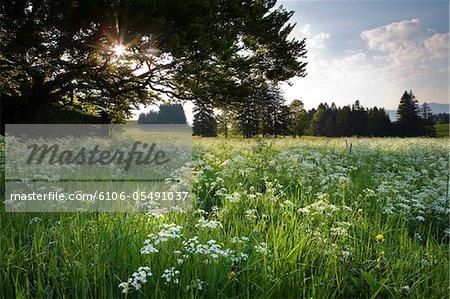 bavarian meadow