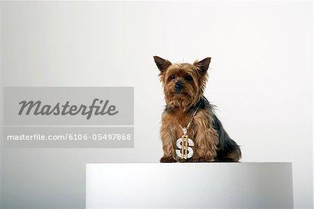 Hund, tragen eine Halskette Phantasie Dollarzeichen