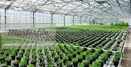 Herbes biologiques en serre, Laugaras, South Iceland, Islande