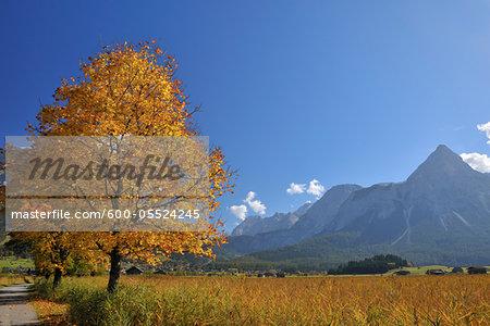 Ehrwalder Sonnenspitze Mountain Range and Maple Tree in Autumn, Lermoos, Tyrol, Austria