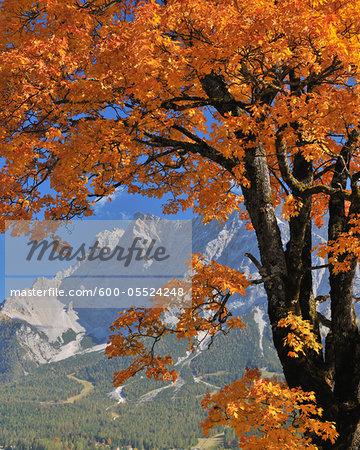 Maple Tree in front of Zugspitze Mountain Range in Autumn, Lermoos, Tyrol, Austria