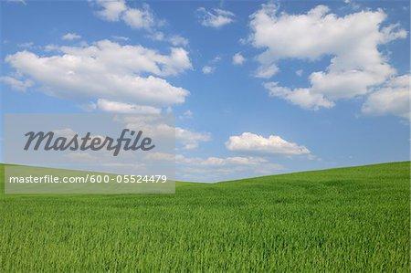 Grain Field, Reinheim, Darmstadt-Dieburg, Hesse, Germany
